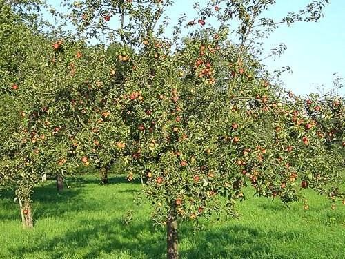 Садоводы делятся опытом — почему на яблоне трескается кора?