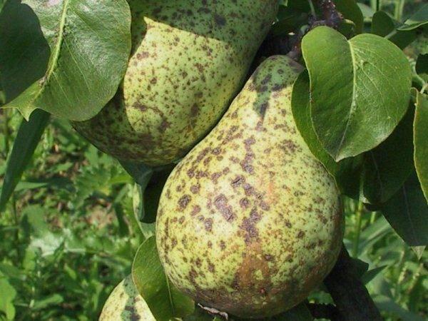 Желтые пятна на листьях груши: что делать и чем лечить болезнь