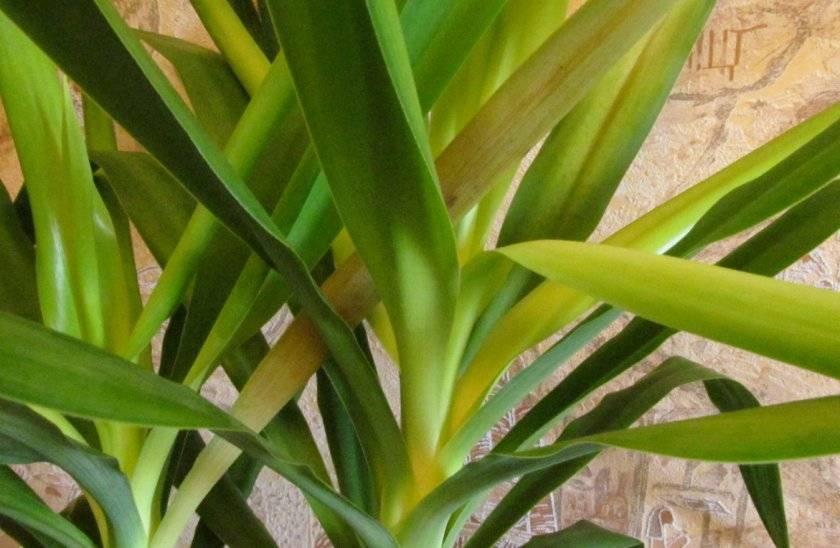 Причины пожелтения и засыхания листьев у юкки и что делать