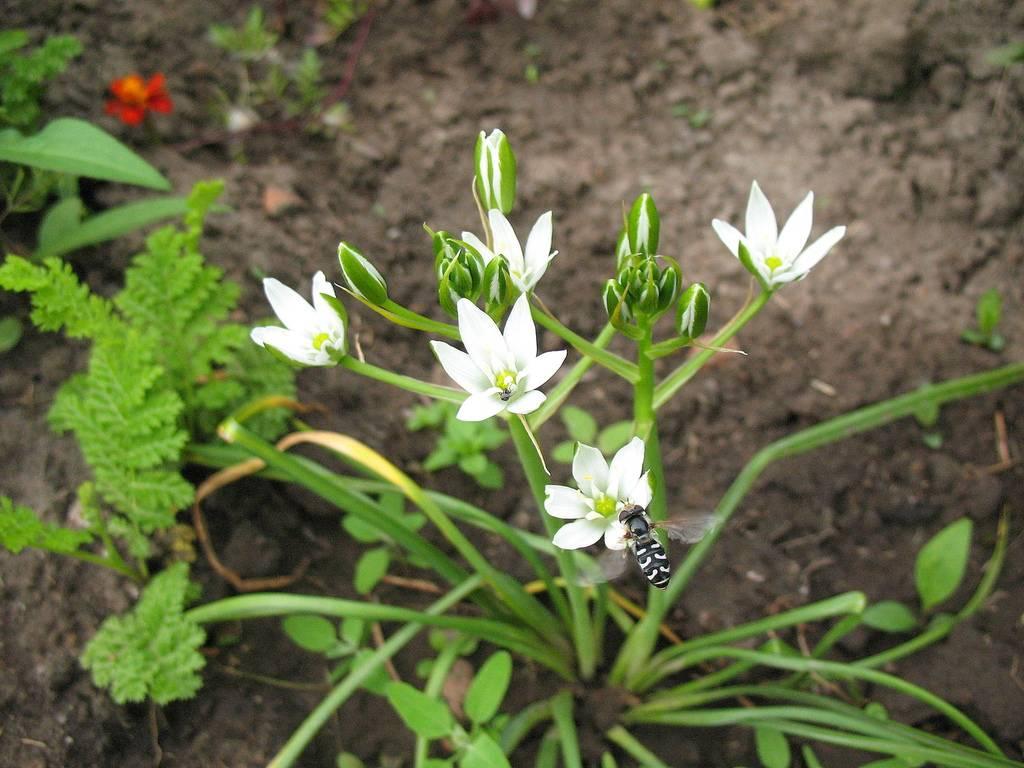Цветок птицемлечник: лечебные свойства, уход и размножение в домашних условиях