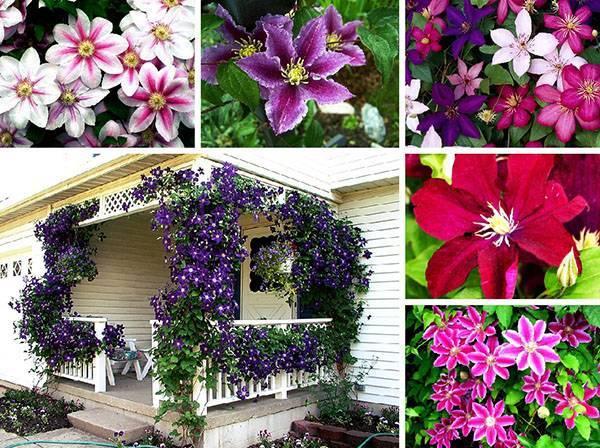Правильная обрезка клематиса стимулирует пышное цветение
