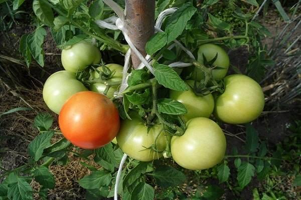 Томат колхозный: описание и характеристика сорта, мнение садоводов с фото