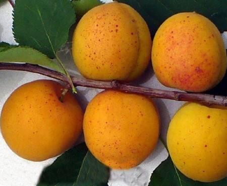 Обзор лучших зимостойких сортов абрикос для подмосковья