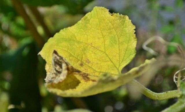 Почему желтеют огурцы в теплице и в открытом грунте
