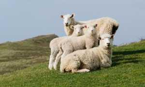 Лечение ценуроза у овец в 2020 году