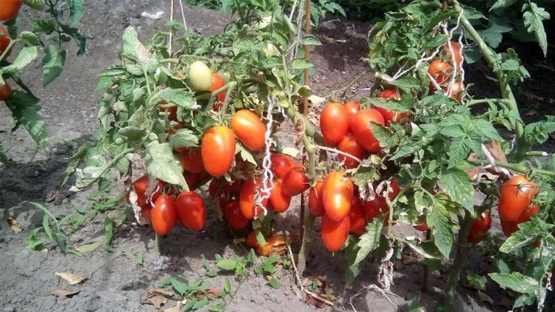 Характеристика и описание сорта томата ракета, его урожайность и выращивание