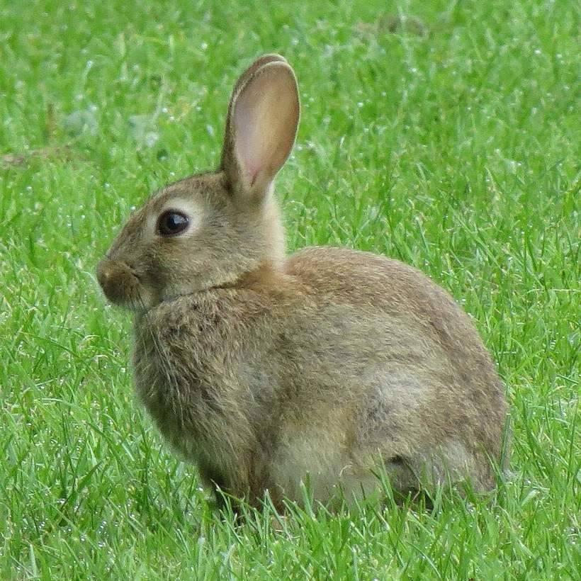 Всё о том, чем отличается заяц от кролика