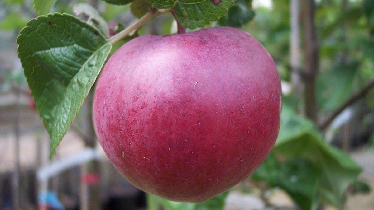 Яблоня «спартан»: описание сорта, фото и отзывы