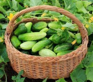 Огурец клавдия: любимый сорт огородников