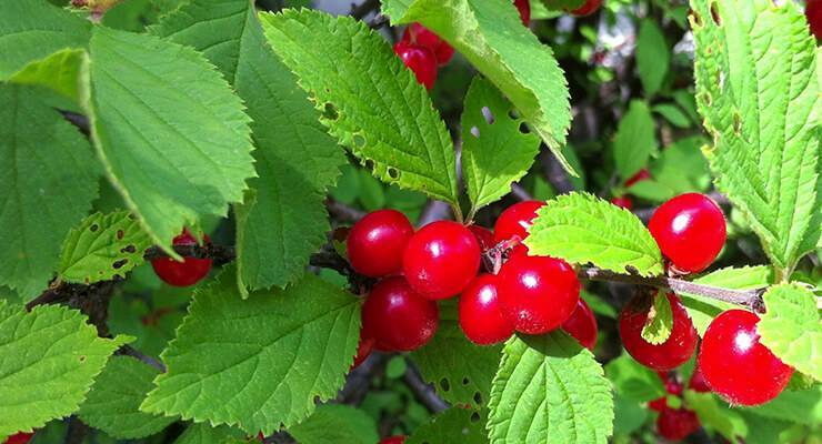 Все секреты войлочной вишни: выбор сорта, особенности посадки, ухода и размножения