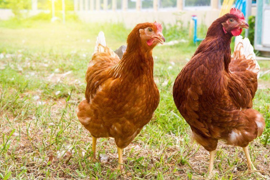 Куры породы род-айленд мясо-яичного направления. характеристики породы, особенности разведения и содержания птиц