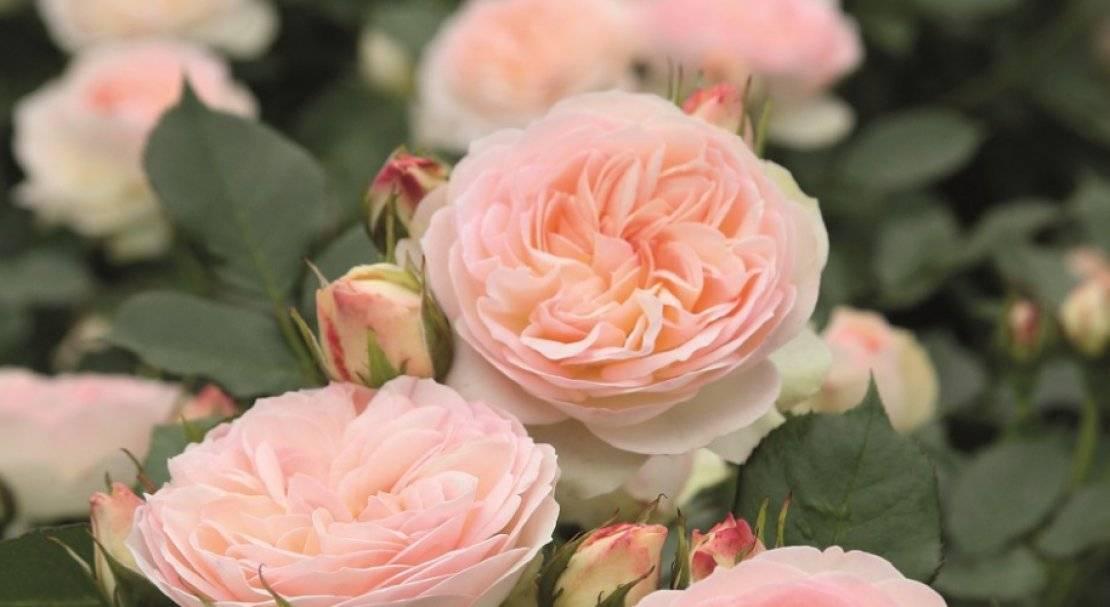Правила посадки и ухода розы флорибунда нина вейбул