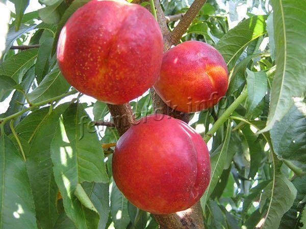 Топ 5 рецептов варенья из персиков и нектаринов без косточек на зиму