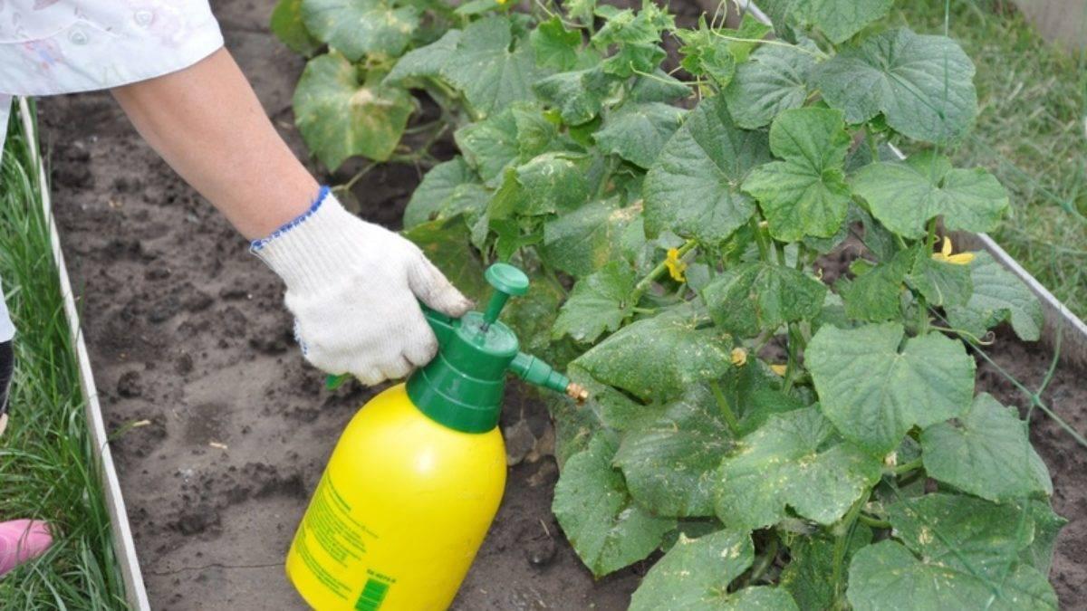 Чем опрыскать огурцы, чтобы не желтели листья: народные средства и препараты