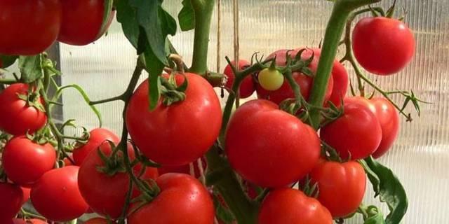 Томат любаша — самый ранний урожай в вашем огороде