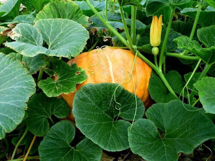 Выращивание рассады тыквы – пошаговая инструкция для начинающих