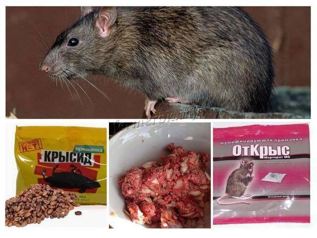 Чем опасны крысы в курятнике? методы борьбы с грызунами