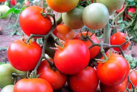 Томат батяня: отзывы, фото, урожайность