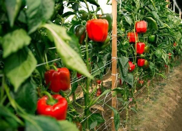 Как сажать перец в теплицу и открытый грунт рассадой