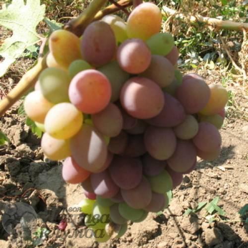 Виноград монарх — истинный король виноградника