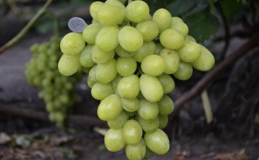 Раннеспелый сорт винограда «диксон»