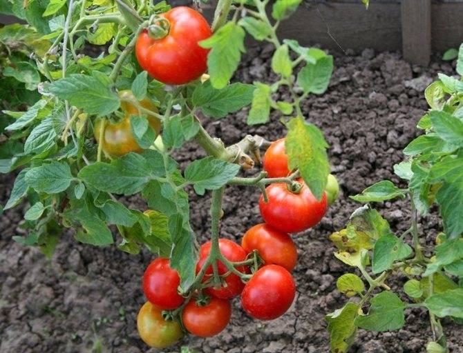 Сорт томата «лабрадор»: фото, отзывы, описание, характеристика, урожайность