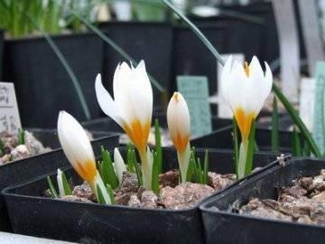 Секреты выращивания красивых крокусов в домашних условиях