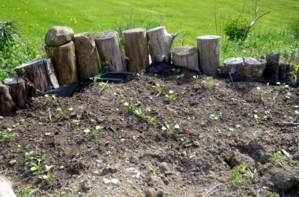 Выращивание дайкона в открытом грунте: посадка, уход и сбор урожая