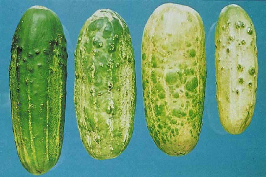 Календарь обработки огурцов от болезней и вредителей