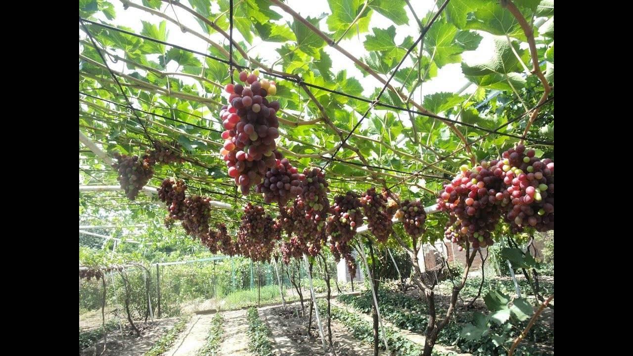 Выращивание винограда агат донской