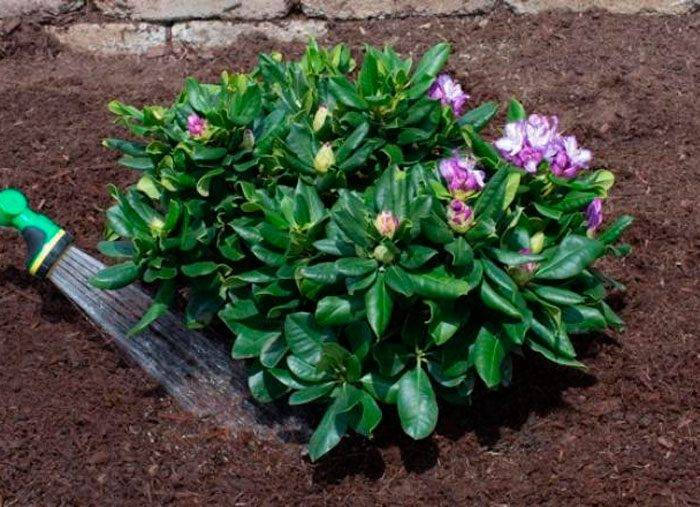 Рододендрон шлиппенбаха: описание