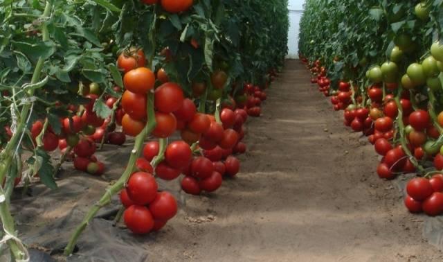 Ультраранний, некапризный, низкорослый и очень вкусный томат «бони мм»: полный обзор сорта и его выращивание