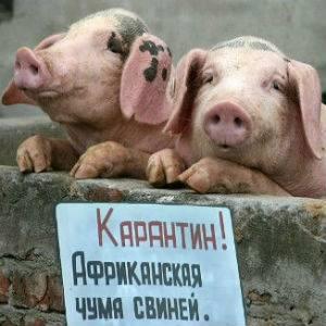 Ветеринарные правила содержания свиней