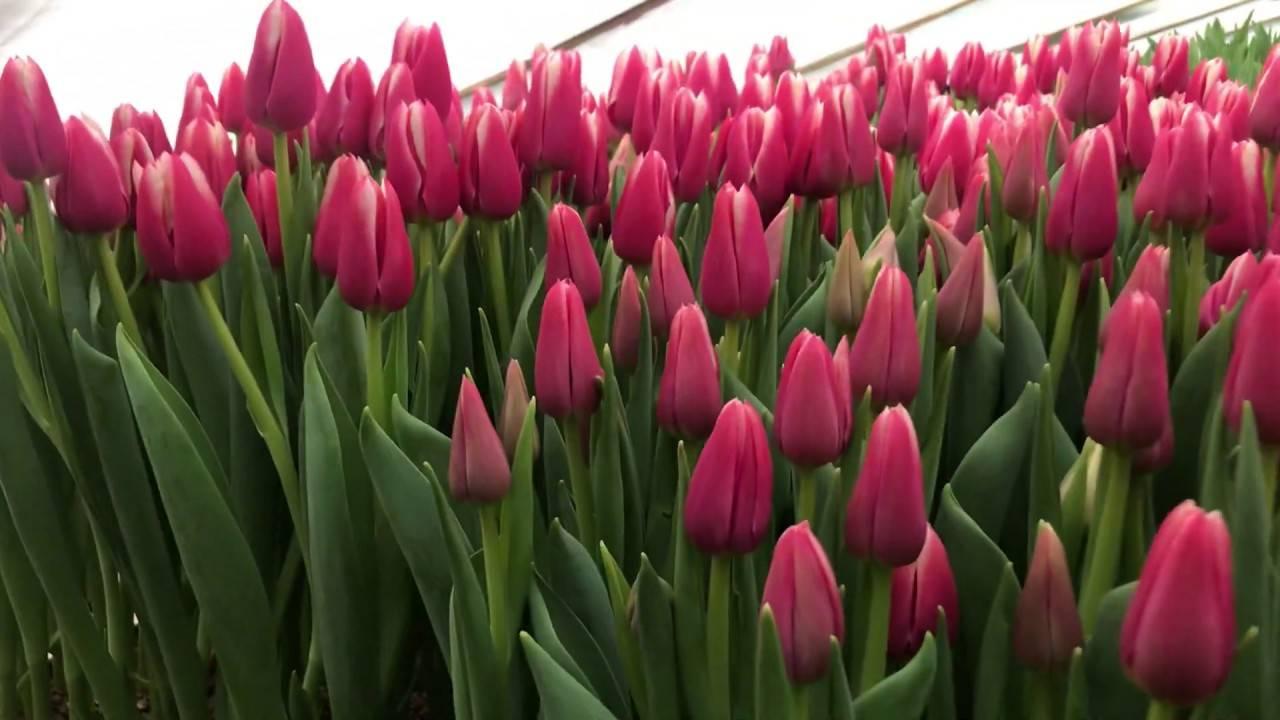 Описание и характеристики сортов тюльпанов триумф, выращивание
