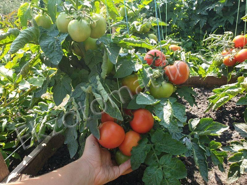 Томат сказка характеристика и описание сорта урожайность с фото