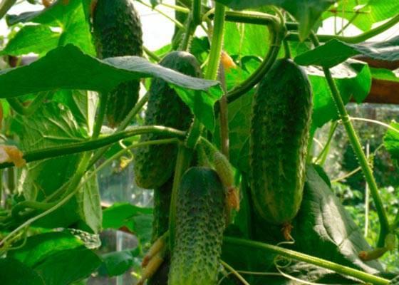 Как посадить и вырастить огурцы «изумрудный поток»