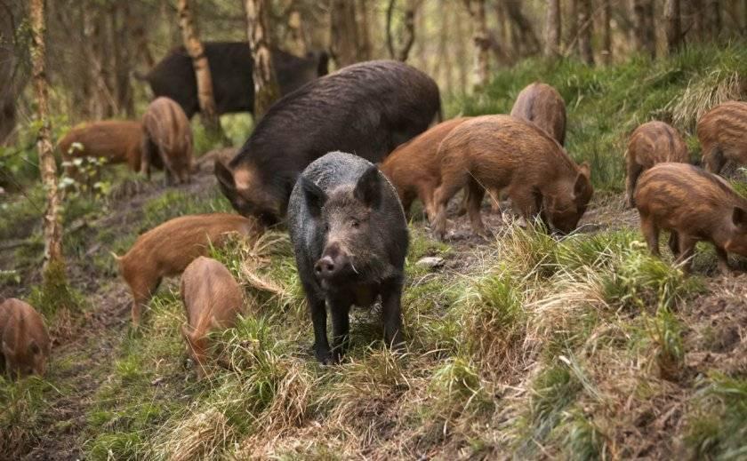Сколько живут декоративные свинки