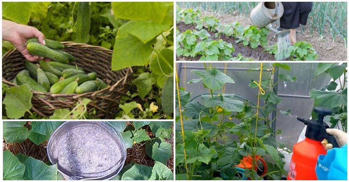 Как подкормить огурцы йодом в открытом грунте и теплице