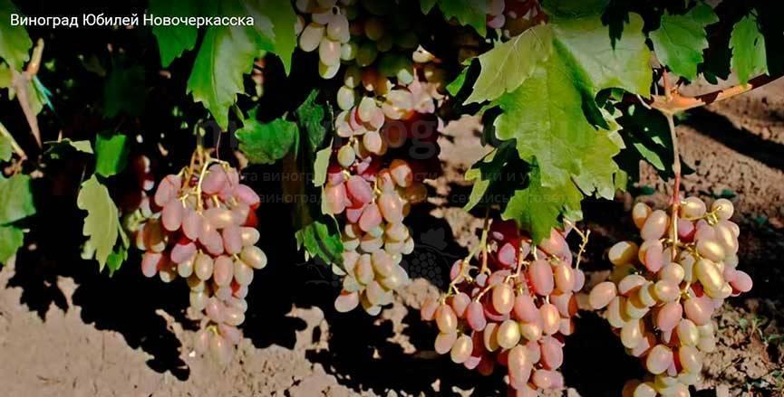 Рубиен — виноград