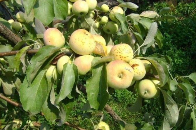Крупноплодная яблоня витязь