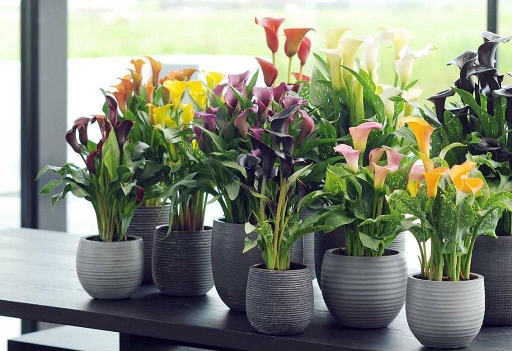 Почему не цветет калла дома или в открытом грунте
