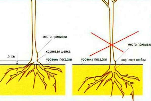 Описание позднезимней яблони белорусское сладкое
