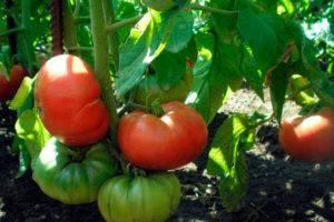 Сорт томата моя любовь f1: описание и особенности выращивания помидоров с «носиком»