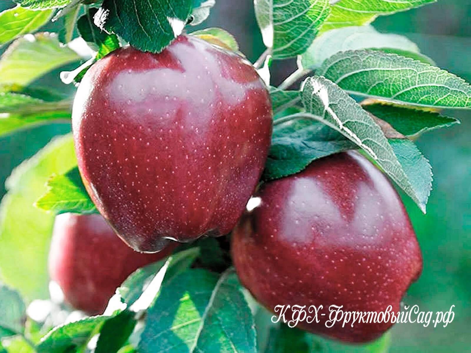 Яблоня ред чиф: особенности сорта и ухода