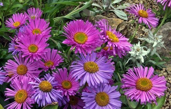 Астра кустарниковая: посадка и уход за кустовыми растениями