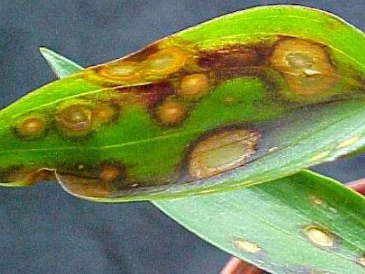 Чем болеют хосты и как лечить. о мире растений и загородной жизни