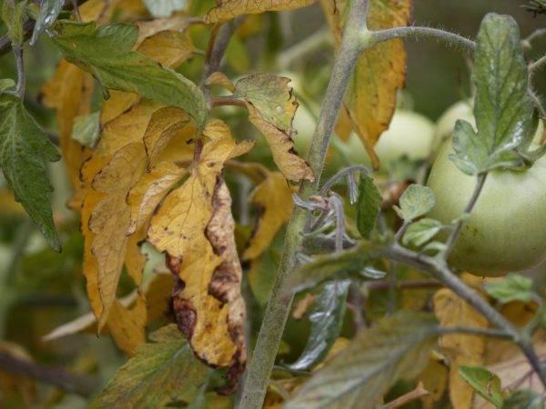 Причины возникновения хлороза растений и способы его лечения