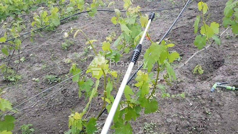Как провести опрыскивание винограда, чтобы и болезни уничтожить, и самим не отравиться