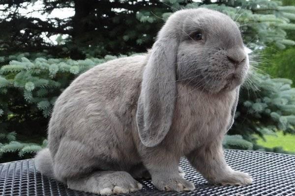 Кролик баран и его подвиды