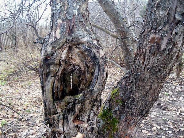 Дуплистое дерево скрипит, да стоит